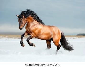 Bay lusitano breed horse in winter field