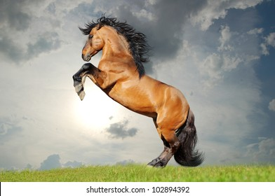 bay lusitano horse