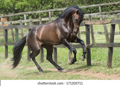 Bay lusitano stallion plays in the field