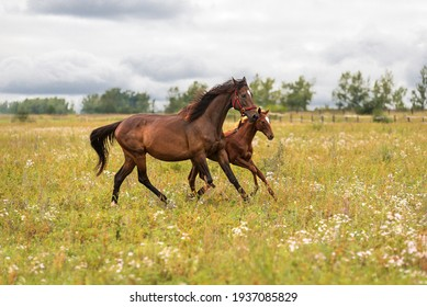 A bay mare in a red bridle with her little foal runs through a green meadow to pasture