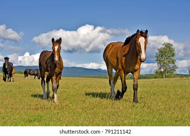 Bay Mare Shire Horse with Foal walking on summer meadow