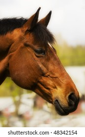 bay mare with strong profile