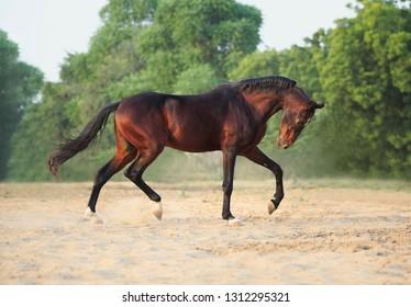 bay marwari stallion running free