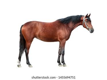 bay orlov trotter horse isolated on white background