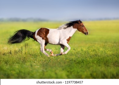 Bay pinto horse run fast in green spring meadow