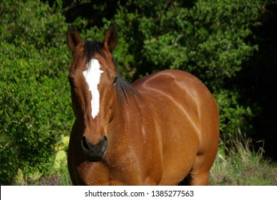 Bay Quarter Horse standing in wooded pasture looking strajght ahead
