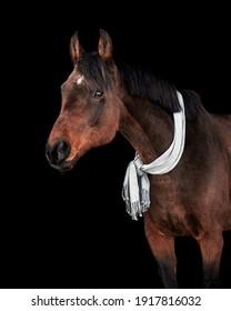 Bay senior horse posing against black background in light grey winter scarf around the neck.