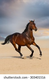 Bay stallion horse galloping in sandy field against sunset sky
