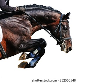 Bay stallion in jumping show, isolated on white background
