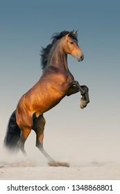 Bay stallion with long mane rearing up