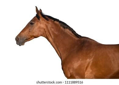 Bay stallion portrait run isolated on white background