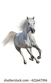 Bay stallion run gallop isolated on white background