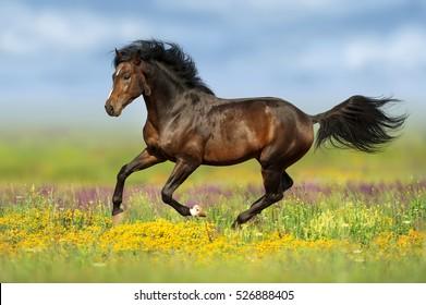 Bay stallion run gallop on flower pasture