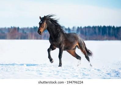 Bay stallion running in winter