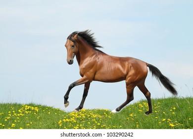 Bay stallion runs through a meadow with dandelions
