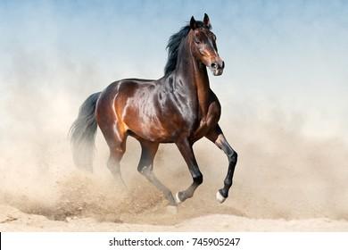 Bay stallion in sandy dust