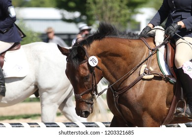 Bay thoroughbred gelding at a mini-event, specifically in the stadium jumping ring, wearing a full cheek snaffle figure eight bridle and a five point breastplate.