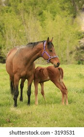 Bay thoroughbred mare and chestnut colored foal
