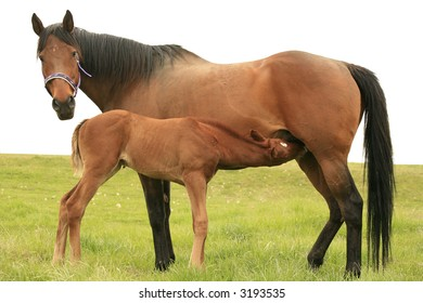 Bay Thoroughbred mare nursing her chestnut foal