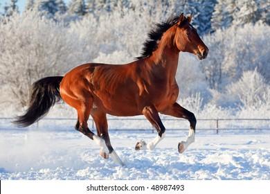 Bay trakehner stallion galloping in winter