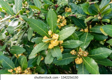 Bay tree with blossom flowers on spring time. Laurus nobilis