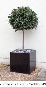 bay tree in cube pot