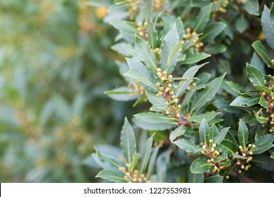 Bay tree growing in autumn garden, nature beackground with copyspace. Aromatic condiment. Spice.