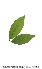 Bay tree leaf