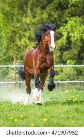 Bay Vladimir Heavy Draft horse runs gallop