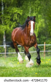 Bay Vladimir Heavy Draft horse runs gallop
