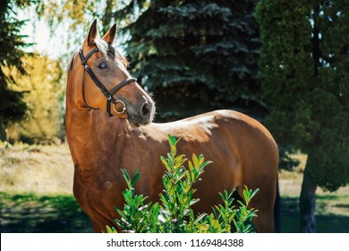 Bay warmblood mare - Shutterstock ID 1169484388