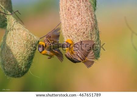 Baya Weaver Bird Stock Photo (Edit Now) 467651789 - Shutterstock