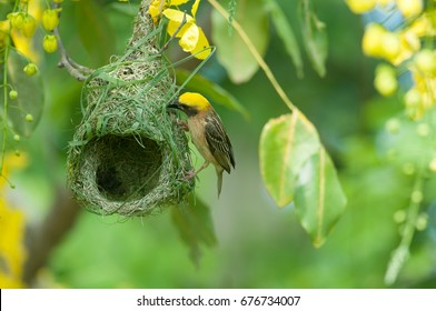 Baya weaver building the nest