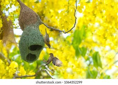 Baya Weaver Nesting