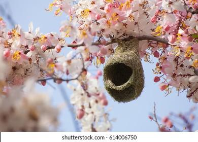 Baya weaver Nesting in Cassia bakeriana tree.