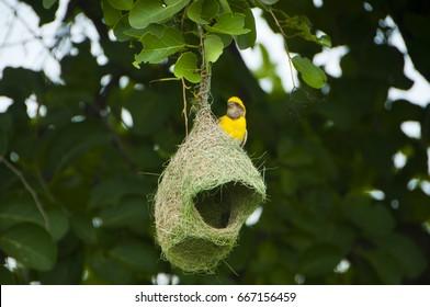 Baya weaver with next, Birds of India,