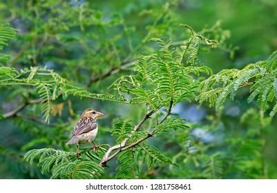 Baya weaver perched on a branch of tree,Kabini,Karnataka.