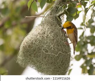 Baya weaver (Ploceus philippinus) Making the nest