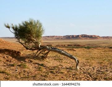 Bayanzag tree near flaming cliffs in Mongolia