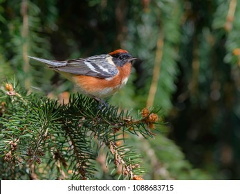 Bay-breasted Warbler Perched on Pine Tree