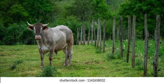 Bazadaise cows and calves daisy in the meadow, Gironde, France
