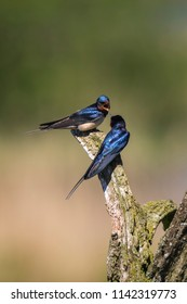 BBarn Swallow bird (Hirundo rustica) perched on a wooden log during Springtime. A large group of these barn swallows foraging and hunts insects and taking their occasional rest on their turns.