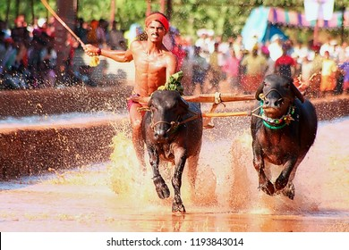 BC Road, Mangalore, Karnataka, India - 15 Dec 2007: Kambala or Kambla is a rural sport, prominent in districts of Udupi and Mangalore in Karnataka.