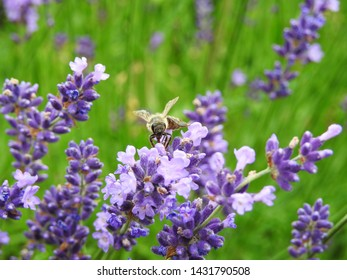 Be on lavender, many blue flowers in the garden. Poland