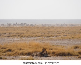 Be vigilant! Foreground lion with herd in the distance at Ongava Park in Namibia