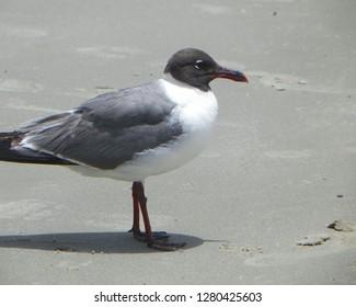 Beach Combing Seagull
