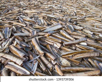 Beach covered with razor sword shells in The Netherlands