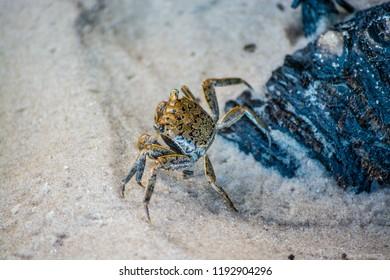 Beach Crab On Florida Beach