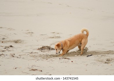 Beach Dog digging in the sand on the Oregon Coast
