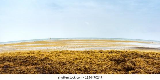 Beach full of sargassum algae